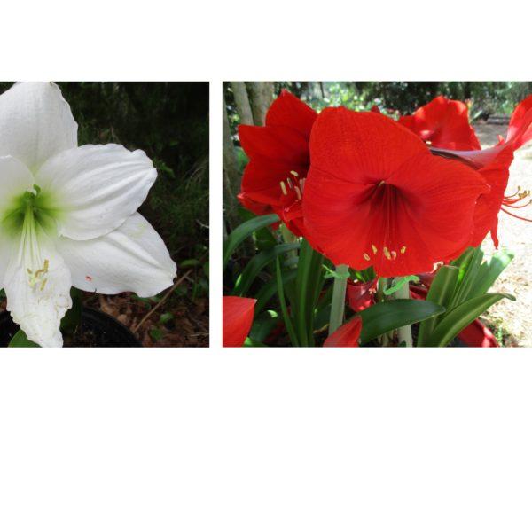 Christmas Gift X Red Lion cross pollinated plant – Amaryllis Man